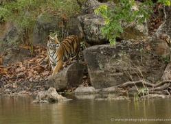 bengal-tiger-india-1462-copyright-photographers-on-safari-com
