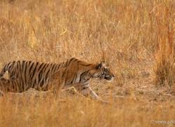 bengal-tiger-india-1468-copyright-photographers-on-safari-com