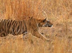 bengal-tiger-india-1469-copyright-photographers-on-safari-com