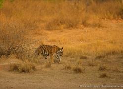 bengal-tiger-india-1470-copyright-photographers-on-safari-com