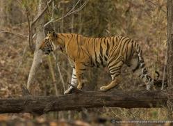 bengal-tiger-india-1472-copyright-photographers-on-safari-com