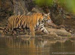 bengal-tiger-india-1474-copyright-photographers-on-safari-com