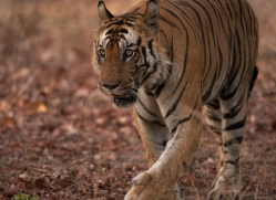 bengal-tiger-india-1477-copyright-photographers-on-safari-com