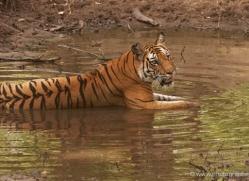 bengal-tiger-india-1483-copyright-photographers-on-safari-com