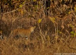 Asian Leopard 2015-1copyright-photographers-on-safari-com