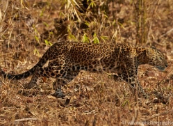 Asian Leopard 2015-2copyright-photographers-on-safari-com