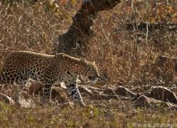 Asian Leopard 2015-4copyright-photographers-on-safari-com