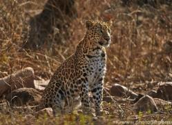 Asian Leopard 2015-6copyright-photographers-on-safari-com