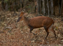 Barking Deer 2015-1copyright-photographers-on-safari-com