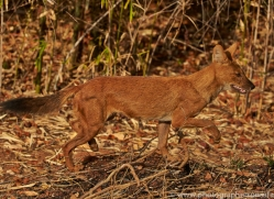 Dhole 2015-1copyright-photographers-on-safari-com
