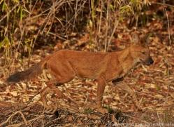 Dhole 2015-2copyright-photographers-on-safari-com