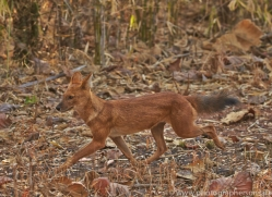 Dhole 2015-3copyright-photographers-on-safari-com