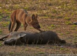 Dhole 2015-5copyright-photographers-on-safari-com