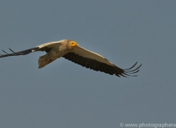 Egyptian Vulture 2015 -2copyright-photographers-on-safari-com