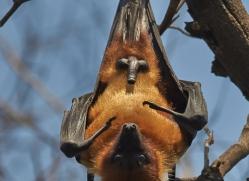 Flying Fox 2015 -1copyright-photographers-on-safari-com