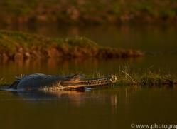 Gharial 2015 -12copyright-photographers-on-safari-com