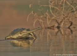 Gharial 2015 -1copyright-photographers-on-safari-com