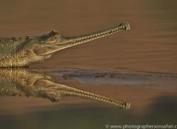 Gharial 2015 -4copyright-photographers-on-safari-com