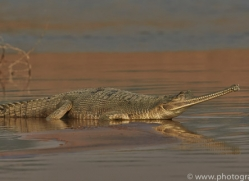 Gharial 2015 -5copyright-photographers-on-safari-com