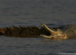 Gharial 2015 -9copyright-photographers-on-safari-com