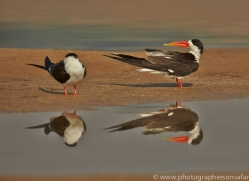 Indian Skimmer 2015 -1copyright-photographers-on-safari-com