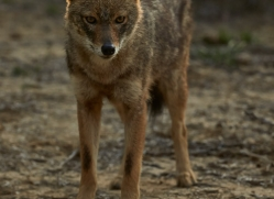 Jackal 2015 -2copyright-photographers-on-safari-com
