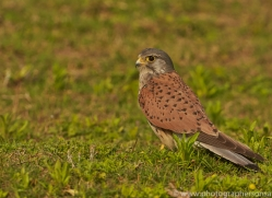 Kestrel 2015 -8copyright-photographers-on-safari-com