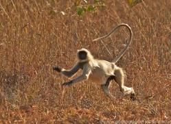 Langur Monkey 2015-1copyright-photographers-on-safari-com