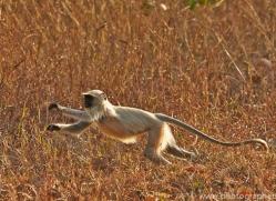 Langur Monkey 2015-3copyright-photographers-on-safari-com