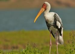 Painted Stork 2015 -1copyright-photographers-on-safari-com