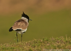 River Lapwing 2015 -2copyright-photographers-on-safari-com