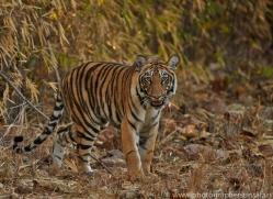 Tiger 2015-11copyright-photographers-on-safari-com