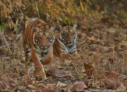 Tiger 2015-13copyright-photographers-on-safari-com
