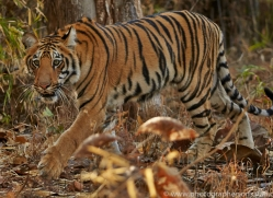 Tiger 2015-14copyright-photographers-on-safari-com