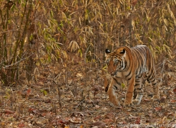 Tiger 2015-15copyright-photographers-on-safari-com