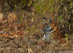 Tiger 2015-18copyright-photographers-on-safari-com
