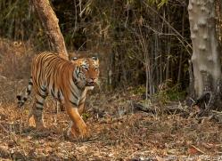 Tiger 2015-22copyright-photographers-on-safari-com