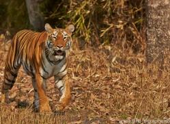 Tiger 2015-23copyright-photographers-on-safari-com