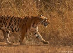 Tiger 2015-24copyright-photographers-on-safari-com