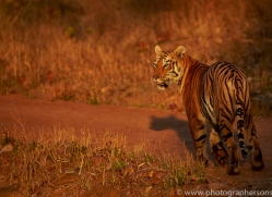 Tiger 2015-25copyright-photographers-on-safari-com