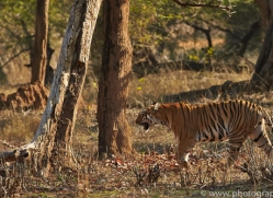 Tiger 2015-26copyright-photographers-on-safari-com