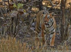 Tiger 2015-28copyright-photographers-on-safari-com