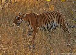 Tiger 2015-29copyright-photographers-on-safari-com