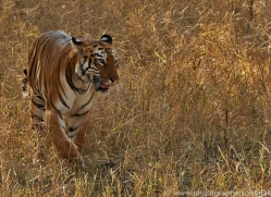 Tiger 2015-30copyright-photographers-on-safari-com