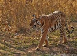 Tiger 2015-33copyright-photographers-on-safari-com
