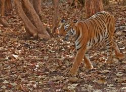 Tiger 2015-35copyright-photographers-on-safari-com