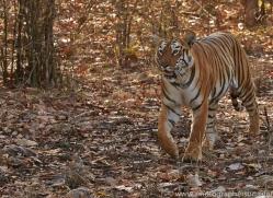 Tiger 2015-37copyright-photographers-on-safari-com