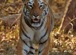 Tiger 2015-41copyright-photographers-on-safari-com