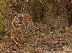 Tiger 2015-44copyright-photographers-on-safari-com