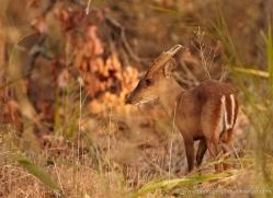 barking-deer-india-1404-copyright-photographers-on-safari-com